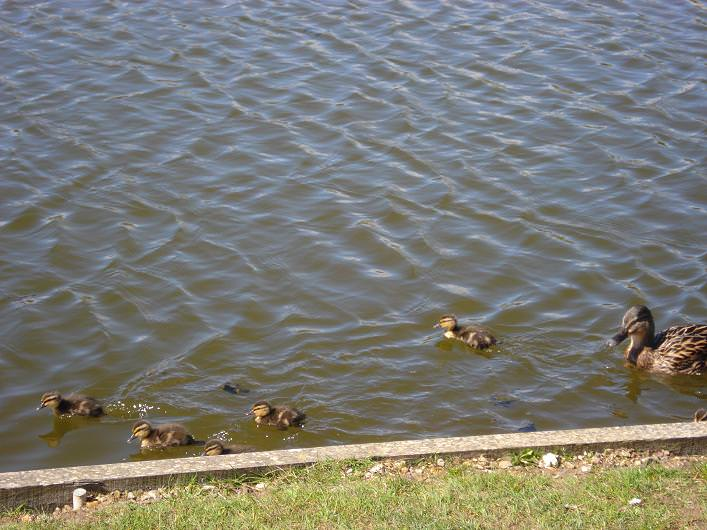Park Baby Ducks